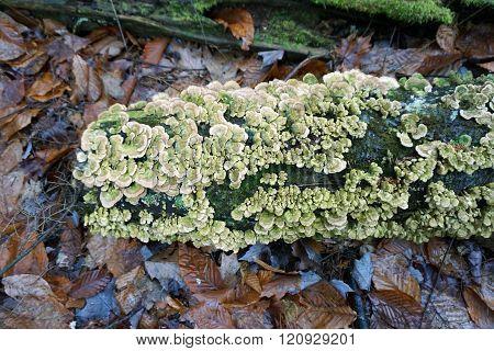 Lumpy Bracket Fungus
