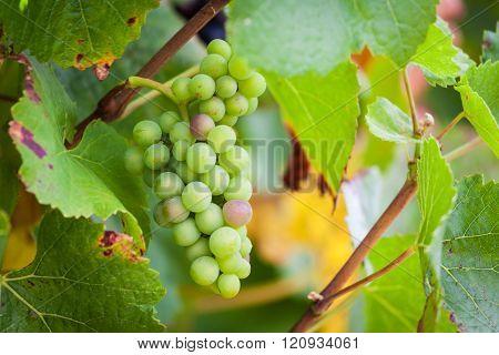 Unripe green wine grapes