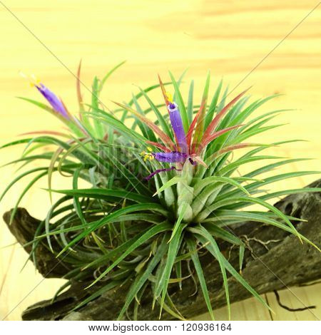 Tillandsia, pot plant on pine wood background .