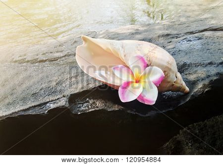 Pink Flowers Frangipani In Sea Conch Shell On The Waterwal Rock And Water Background