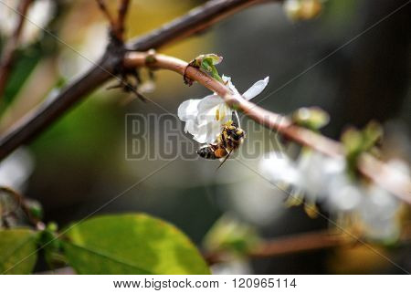 Picture of a Bee on a white flower