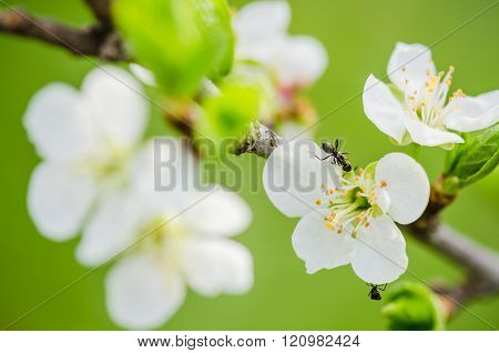 The ant runs on a blossoming branch of plum