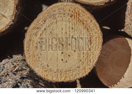pine tree cut with pitch close up