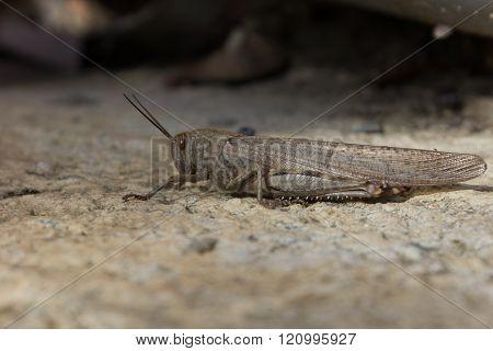 Large Locust Sitting On The Ground