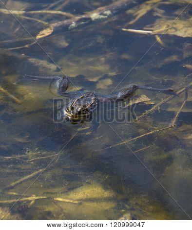 Woods Frog
