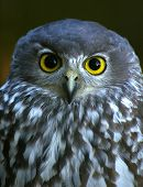 a barking owl with the intense stare they are known for. poster