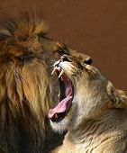 lioness yawning in front of the male lion. poster