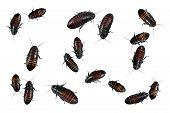 Madagascar hissing cockroaches Gromphadorhina portentosa isolated on white background poster