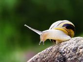 snail on the stone with green background poster