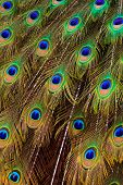 Beautiful peacock bird tail feathers in close up poster