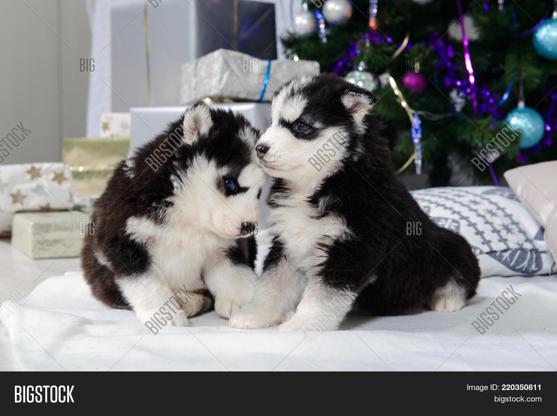 Husky Puppies Near Image Photo Free Trial Bigstock