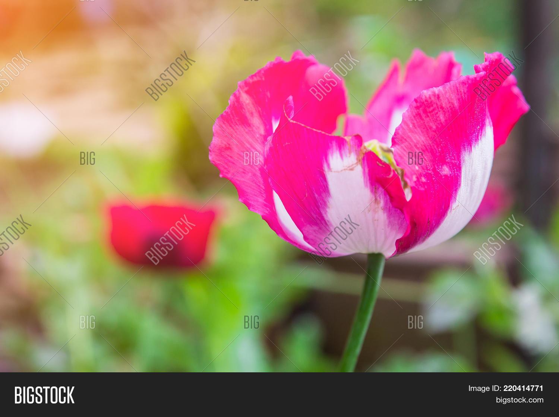 Opium Poppy Flowers Image Photo Free Trial Bigstock