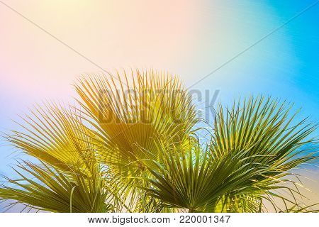Frame from Large Round Spiky Palm Tree Leaves on Clear Blue Sky Background. Golden Pink Peachy Sun Light. Tropical Vacation Traveling Asia Caribbean Mediterranean.Copy Space