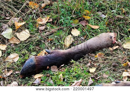 A discarded moose leg from a successful hunt.