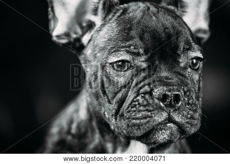 Close Up Portrait Young Black French Bulldog Dog Puppy With White Spot Sit On Red Sofa Indoor. Funny Dog Baby. Photo In B W, Black And White Colors