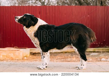 Central Asian Shepherd Dog Standing In Village Yard. Alabai - An Ancient Breed From The Regions Of Central Asia. Used As Shepherds, As Well As To Protect And For Guard Duty