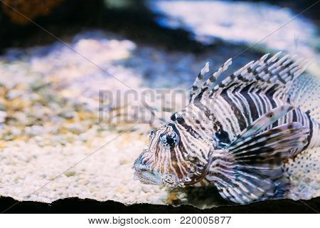Red Lionfish Pterois Volitans Is Venomous Coral Reef Fish Swimming In Aquarium. One Of The Most Poisonous Fish In Sea.