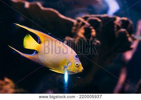 Queen Angelfish Holacanthus Ciliaris Swimming In Aquarium.