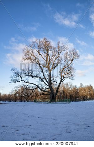 Old Oak in Gatchina Park almost 250 years