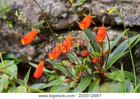 Closeup of Bolivian Sunset flower in red orange, colorful houseplant growing in Asia (Seemannia sylvatica)