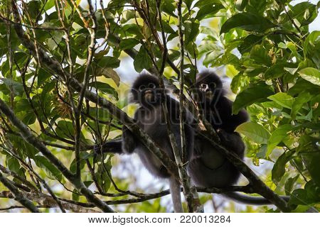Two Dusky Leaf Monkey, also called spectacled langur, spectacled leaf monkey, primate sitting on tree branch in the forest at fraser's hill, Malaysia, Asia (Trachypithecus obscurus)