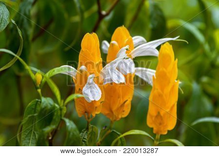 Closeup of Lollipop plant, white flower emerging from yellow bracts. Also called Golden shrimp plant at fraser's hill, Malaysia, South east Asia (Pachystachys lutea)