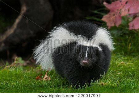 Striped Skunk (Mephitis mephitis) Walks Forward in Grass - captive animal