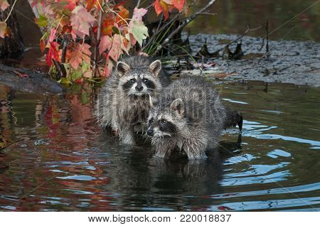 Two Raccoons (Procyon lotor) Huddle Together - captive animals