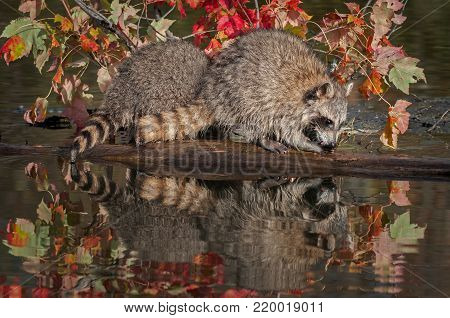 Two Raccoons (Procyon lotor) Lined Up on Log - captive animals