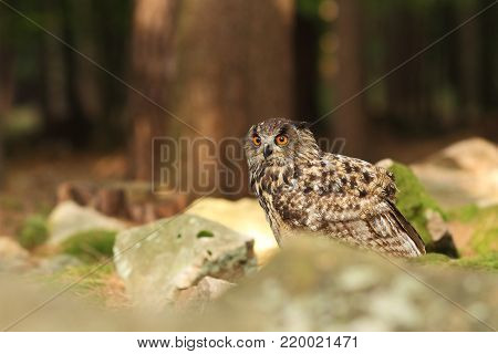 Bubo bubo. Owl in the wild. Czech nature. Highlands. Autumn nature of Czech. Bird. Owl is spread almost throughout Europe.