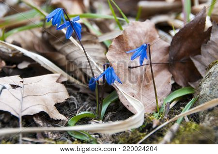Background of blooming spring flowers Scilla. Scilla flowers on forest ground. Blue scilla flower.