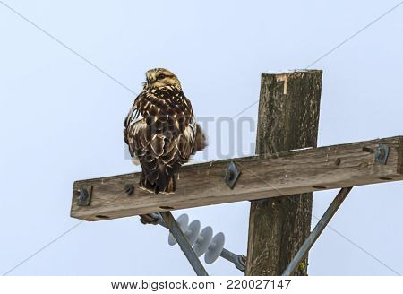 Hawk looking back the other way. A beautiful hawk is perched on a wooden pole near Davenport, Washington.