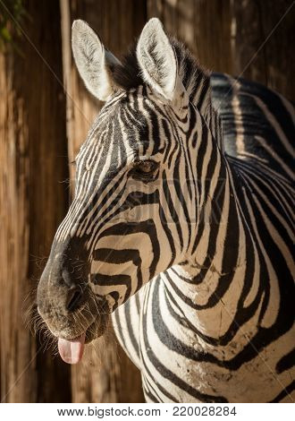 Close up photo of a zebra sticking his tongue out