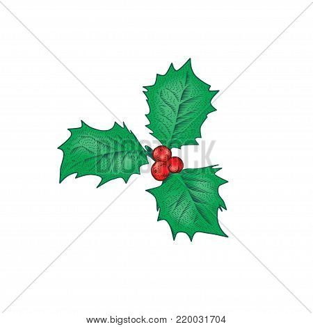 Christmas holly branch. Ilex aquifolium leaves and fruits in style vintage engraving vector illustration. Holiday decoration.