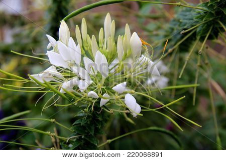 Image of beautiful plant with large white petals in landscaped garden.