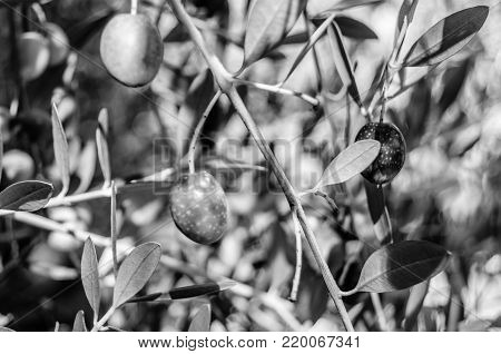 Black and white olive tree branch detail