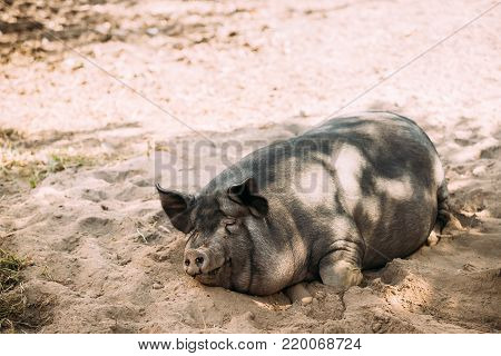 Household Pig Enjoys Relaxing In Dirt Lying In Mud. Large Black Pig Resting In Sand. Pig Farming Is Raising And Breeding Of Domestic Pigs.