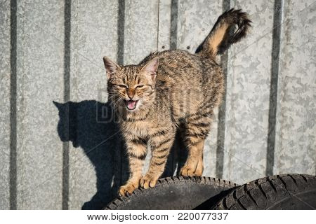 Angry cat showing its teeth standing on car tyres with galvanized corrugated steel background
