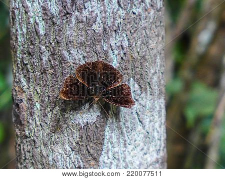 Dark brown butterflies perch on a tree with white bark.