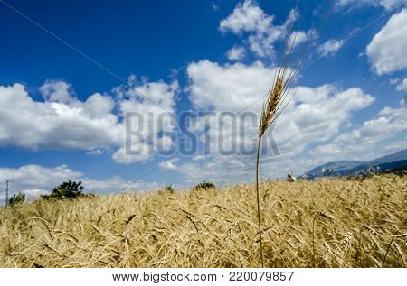 Ears of wheat grouped with background the field and the blue sky, you notice the beauty of nature and its benevolence but also the effort of man to get food.