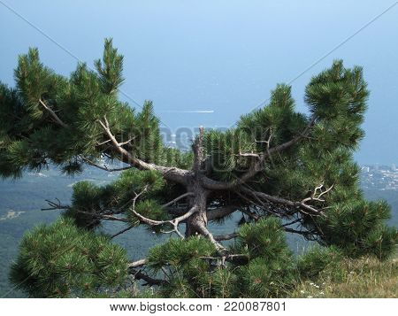 Tree grow on the top of the mountain above the sea