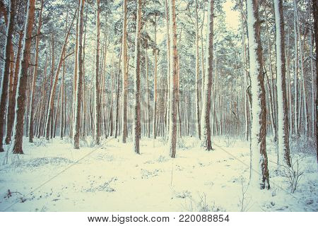 Tree Pine Spruce In Magic Forest Winter With Falling Snow. Snow Forest. Christmas Winter New Year Ba