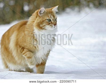 Tomcat ginger tabby standing in snow, alert