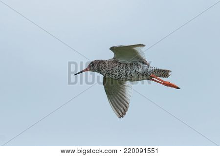 Common redshank, Tringa totanus, in flight. Wader bird breeding in grassland of marshes and wetlands flying with sky as background. Animal of Iceland.