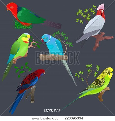Set of brightly colored parrots on branches and in grass. Gallah (rose-breasted cockatoo),  budgerigar (shell parakeet),  king parrot, superb parrot  (Barraband's parrot), rose-ringed parakeet (ring-necked parakeet, blue form), crimson rosella