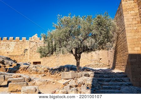 Olive tree and wall next to medieval walls of Johannites fortres on the Acropolis of Lindos (Rhodes, Greece)