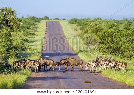 Blue wildebeest and Plains zebra in Kruger national park, South African; Specie Connochaetes taurinus and Equus quagga burchellii