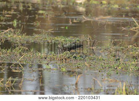 beautiful Glossy Ibises (Plegadis falcinellus) in paddyfields area