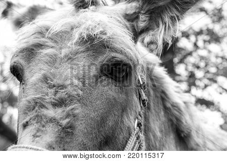 Head of a donkey close, black and white photo