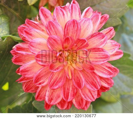 A close up of an orange and pink dahlia